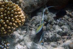 Zanclus_cornutus_018_C_Zanclidae_L_Maldivas_U_Sebas_04072015
