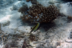 Zanclus_cornutus_019_C_Zanclidae_L_Maldivas_U_Sebas_04072015