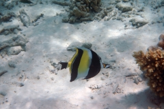 Zanclus_cornutus_020_C_Zanclidae_L_Maldivas_U_Sebas_04072015