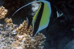 Zanclus_cornutus_021_C_Zanclidae_L_Maldivas_U_Sebas_04072015