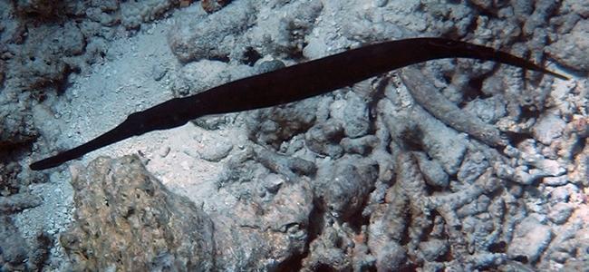 Aulostomus chinensis
