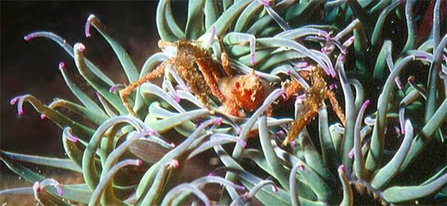Inachus phalangium