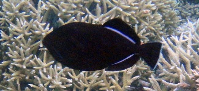 Melichthys indicus
