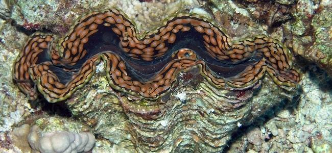 Tridacna spp